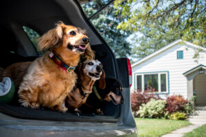 Dachshunds-in-cargo